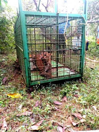 A leopard was caught at Maladi in Thekkatte village, Kundapur taluk.
