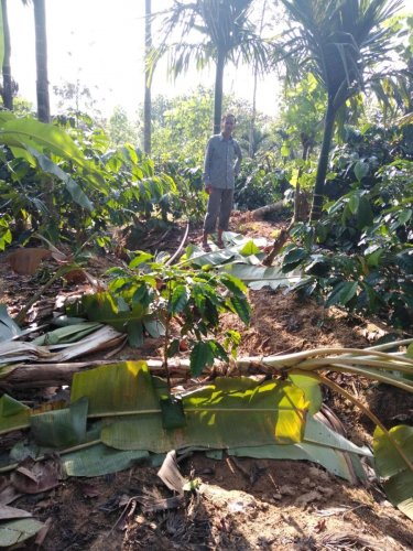 Wild elephants that sneaked into a farmland have destroyed banana and coffee plants, paddy and other crops at Sabbenahalli in Phalguni village of Banakal Hobli on Thursday night.