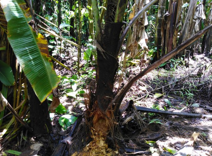 The roots of a coconut tree damaged by porcupine at a farmland in Sringeri. dh photo