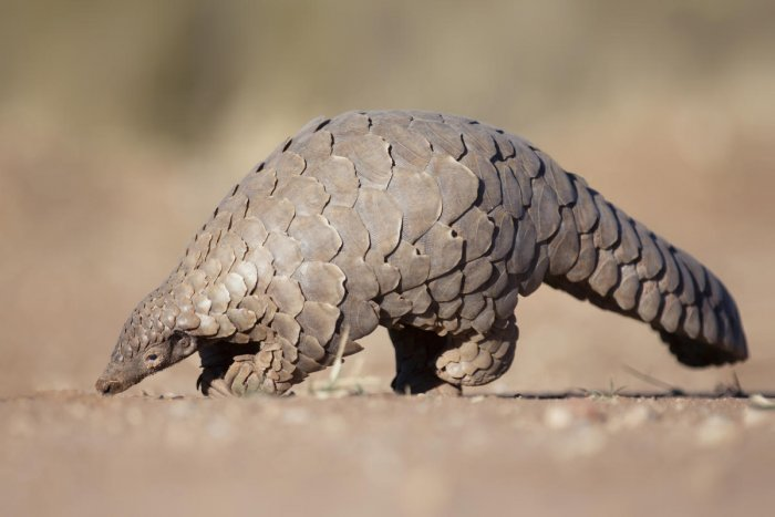 Pangolins have large, protective keratin scales covering their skin and they are the only known mammals with this feature. DH Photo