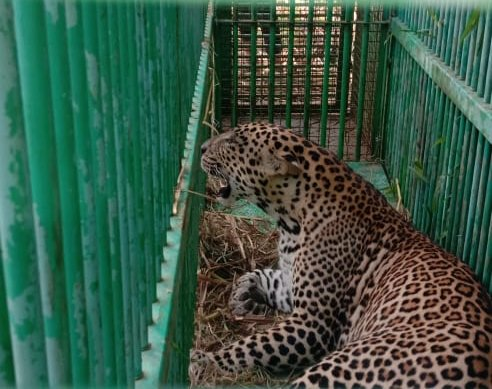 This is the second leopard rescued from the same place in a span of one week. (DH photo)