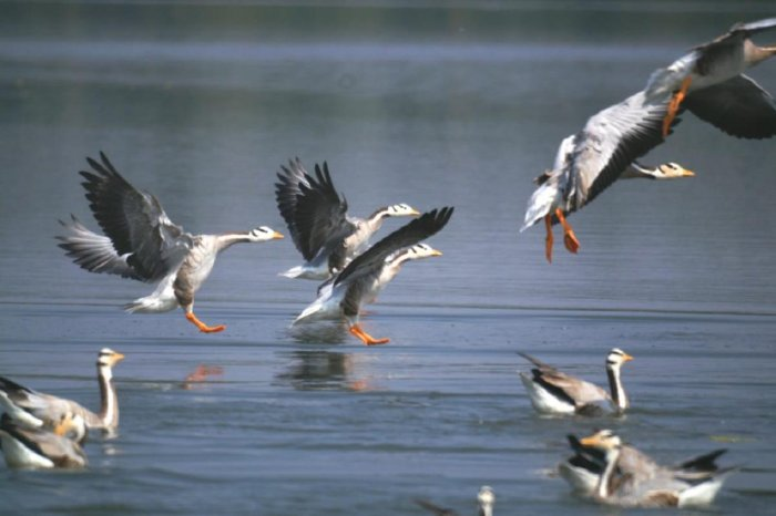 The birds can be seen at Doddakere, in Hangala village, and also in small ponds near Gopalaswamy Hill.