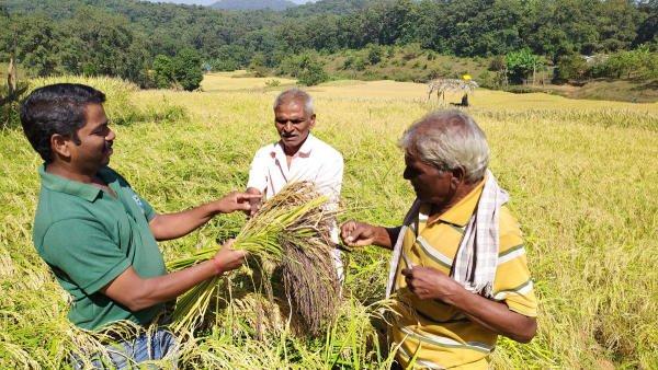 Jayananda, Nana Ganaba and Hambeer in Paddy Field. (Photo by author)