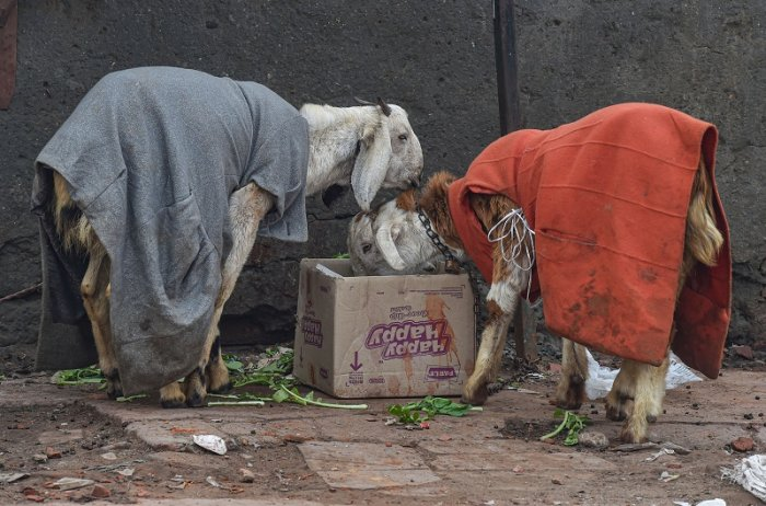 Goats wearing warm clothes feed, on a cold and wintry day, in New Delhi. (PTI Photo)