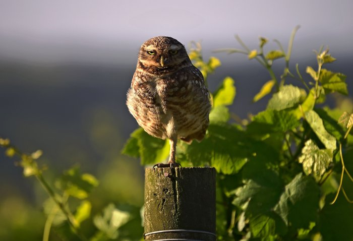 An owl is seen at the Familia Geisse vineyard in Pinto Bandeira, Rio Grande do Sul state, Brazil. (AFP Photo)