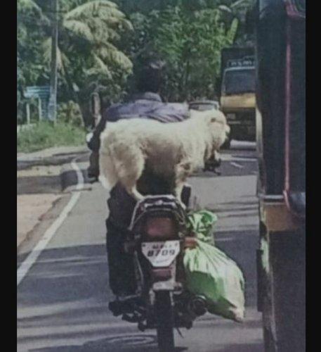 The helmetless two-wheeler rider has a pomeranian pet dog riding pillion.