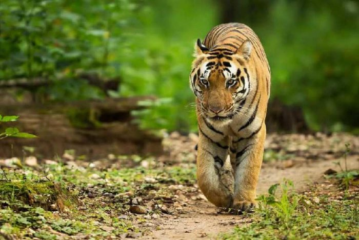 """""""Prima facie, it seems the tigress died due to territorial fight. An autopsy is being done and the samples would be sent to veterinary laboratory to find out the exact cause of the death,"""" said District Forest Officer (DFO) of VTR, Ambarish Mall."""
