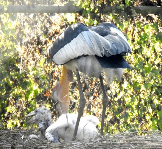 The chick of the artificially bred greater adjutant stork in Assam State Zoo and Botanical Garden in Guwahati. DH photo