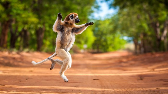 Verreaux's sifaka photographed in the Berenty Reserve of Madagascar. (DH Photo)
