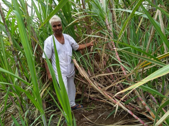 Eshwar has beeninto chemical-free farming for the last 12 years.He hasthree-and-a-half acres of land where he grows a variety of crops.
