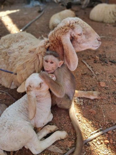 The monkey was in the farmhouse for the last three years, after it was separated from its colony.
