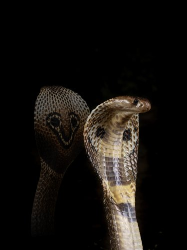 The finding may help save thousands of lives in future as it opens up the doors to create better quality antivenom in the laboratory using recombinant DNA technology.