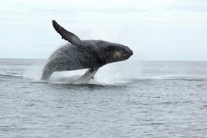 The project aims to study Whale movements and save them from possible threats to life. Credit: AFP