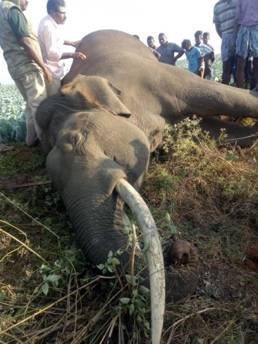 The tusker is said to be around 26 years, according to Range Forest Officer Kantharaju. (Credit: DH)