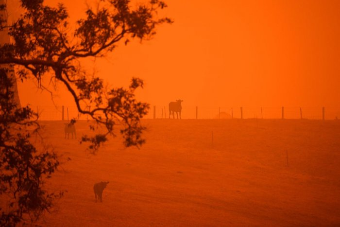 Cattle stand in a field under a red sky caused by bushfires in Greendale on the outskirts of Bega, in Australia's New South Wales state on January 5, 2020. (AFP Photo)