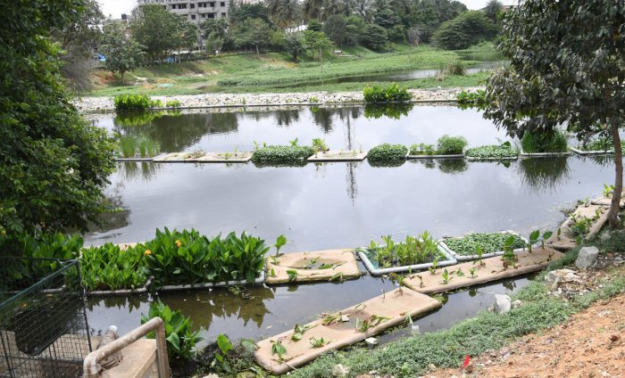 The Puttenahalli Neighbourhood Lake Improvement Trust (PNLIT) has been working to clean wetlands by artificial floating plants by using PVC pipes were 'launched' in the lake - the first of its kind in Bengaluru on Thursday. (Credit: DH)