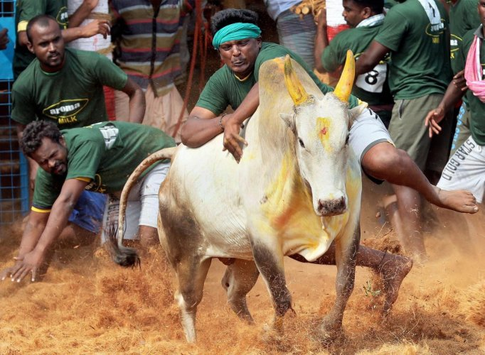 A villager attempts to control a bull during bull-taming event, Jallikattu in Coimbatore on Sunday. (PTI Photo)