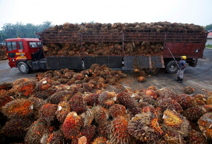 A worker unloads palm oil fruits from a lorry inside a palm oil factory in Salak Tinggi, outside Kuala Lumpur, Malaysia. (Reuters photo)