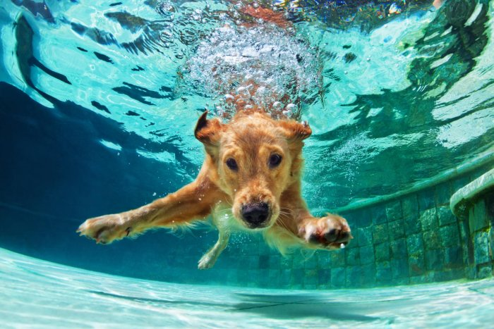 Obesity in pets is most likely caused by their lifestyle and overfeeding,though sometimes they might have thyroid problems too. Swimming is agreat way for pets to burn calories.