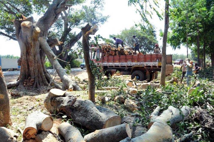 Trees being felled at K M Road near Uddeboranahalli in Chikkamagaluru district.