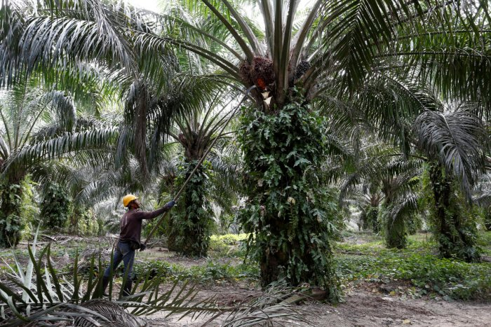 A worker collects palm oil fruits at a plantation in Bahau, Negeri Sembilan, Malaysia. (Reuters photo)