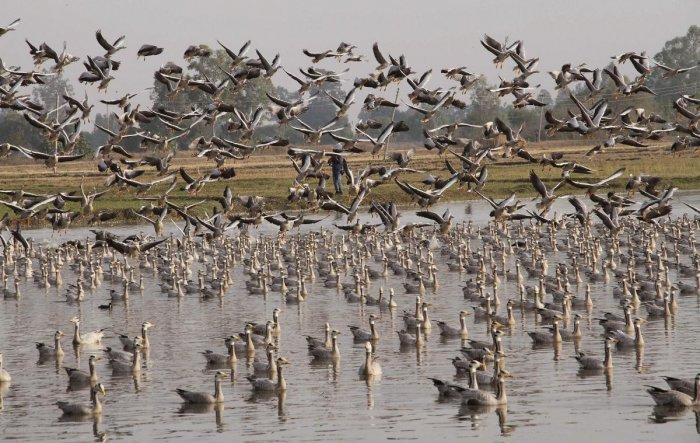Migratory birds at the Gharana wetland near the India-Pakistan international border at Ranbir Singh Pura, about 35km from Jammu. Credit: PTI Photo