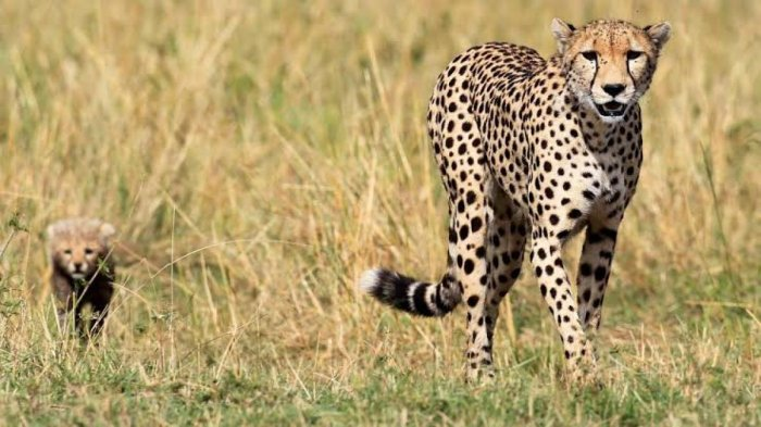 Cheetahs were declared extinct in the country in 1952.