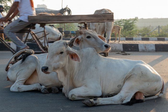 """""""Narayan claimed in his statement that he was transporting the six calves for farming purpose who were sent to a cow shelter. We are yet to verify his statement"""", Meena told DH.(Credit: AFP Photos)"""