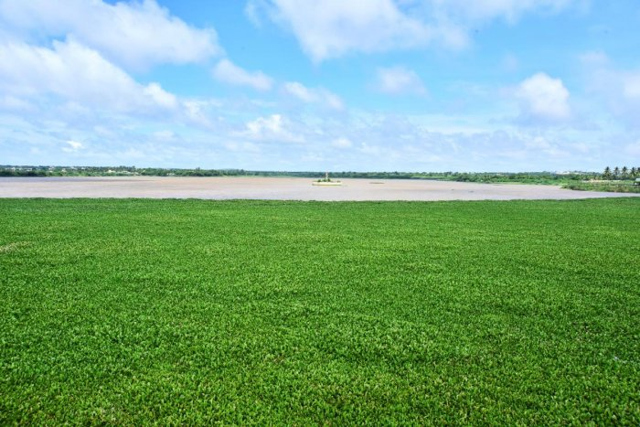Unkal lake infested with water hyacinth, an invasive weed.Photo by Tajuddin Azad.