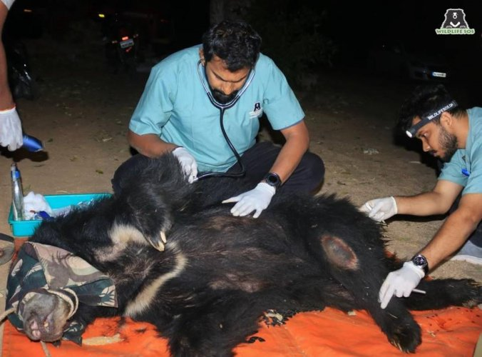 A female sloth bear suffering a gunshot wound was rescued from Pavagada and currently being treated at Bannerghatta Bear Rescue Centre in Bengaluru. (DH Photo)