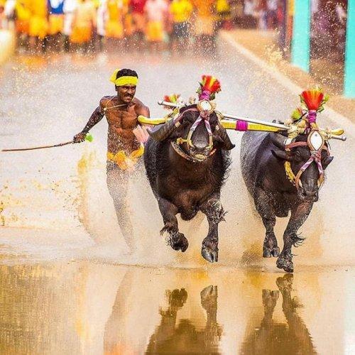 Srinivas Gowda in action during Aikala Kambala recently.