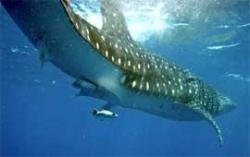 Space technology to identify whale sharks off Gujarat