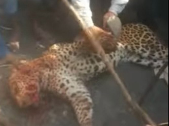 Leopard beaten to death, burnt in Gujarat village