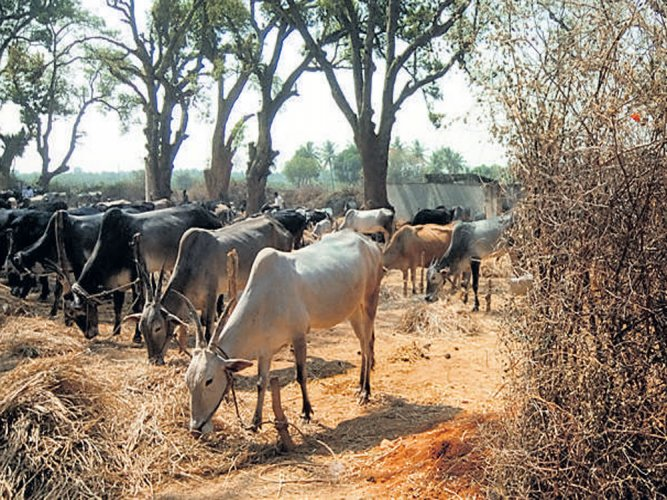 Life term for cow slaughter in Gujarat; Assembly clears bill