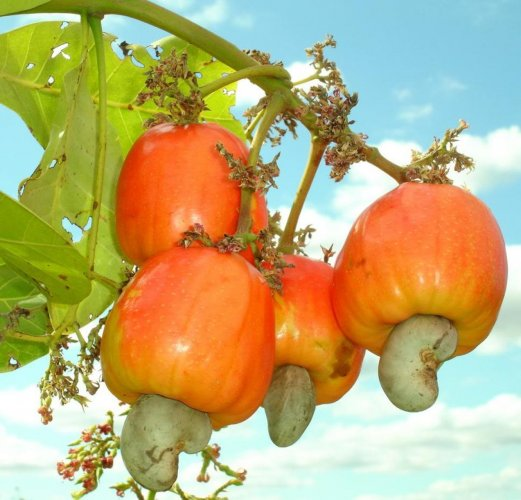 Import duty on raw cashew nuts should be enhanced to benefit local farmers.