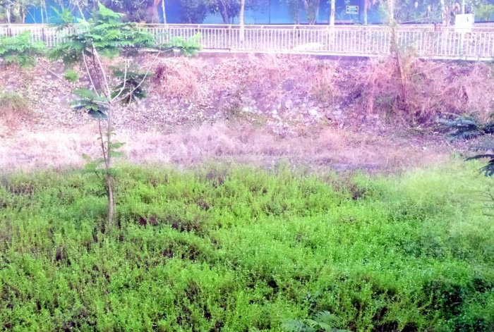Gangana Palla, covered with shrubs and weeds, has gone dry.