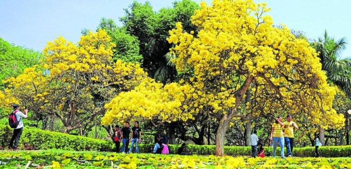 Tabebuias of yellow and pink (below) blooms in Bengaluru. Photos by Ranju P and Sudheesha K G