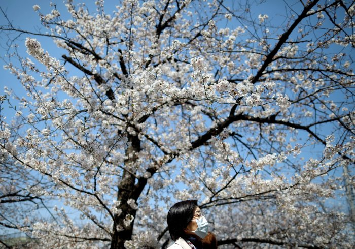 A woman wearing a protective face mask following an outbreak of the coronavirus disease (COVID-19) walks past under blooming cherry blossoms in Tokyo. (Credit: Reuters)