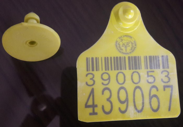 The special tag containing barcode and registration number that are fixed on milking cows in Chikkamagaluru district.