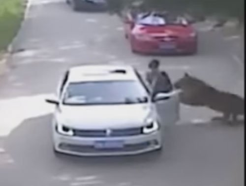 Tiger mauls woman to death in Chinese wildlife park (video)