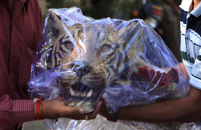 India's crime branch officers hold a seized head of a Royal Bengal tiger outside a hotel in Nagpur March 16, 2011. Reuters.