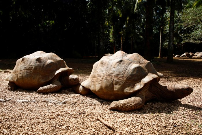 Aldabra giant tortoises are pictured at the La Vanille Nature Park. (Reuters Photo)