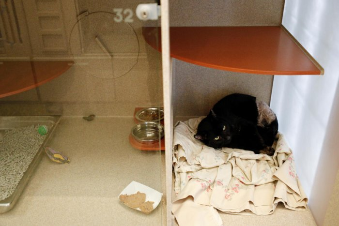 Gandor, a feline at the Humane Rescue Alliance animal shelter is placed in a bite quarantine location to rest, as animal fostering and adoptions increases due to the coronavirus disease. Reuters