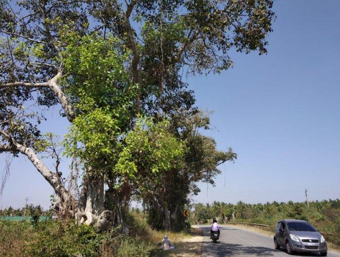 Trees on National Highway-206 passing through Bettadahalli in Terikere taluk in Chikkamagaluru.