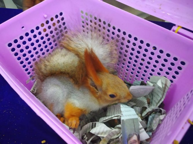 The red squirrel, one of the seized animals at the airport. Photo: ANI/Twitter