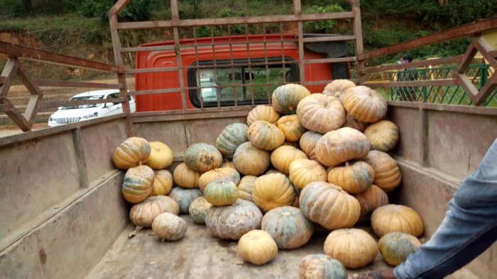 Sweet pumpkins directly purchased from farmers in Hassan district. DH Photo