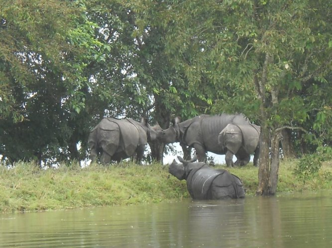 Rhinos taking shelter in an artificial highland inside Kaziranga National Park in Assam. (Photo by Swapan Nath, Kaziranga)