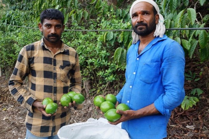Growers collect butter fruits from trees.
