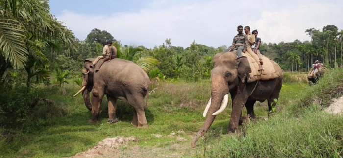Tamed elephants from Mattigodu camp are being used in the operation to capture the notorious tiger.