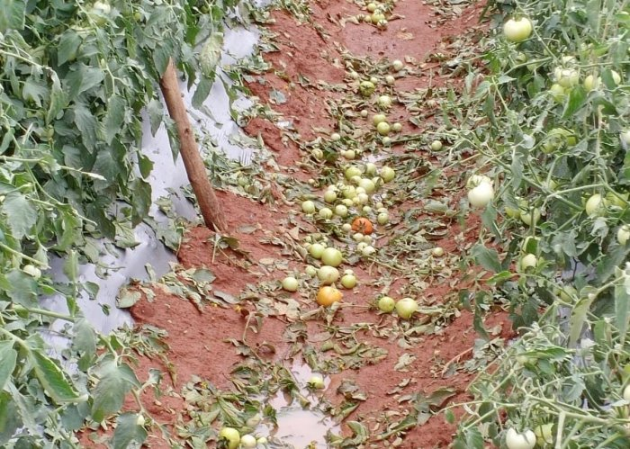 Tomatoes in a field have been damaged due to heavy rains in Kolar